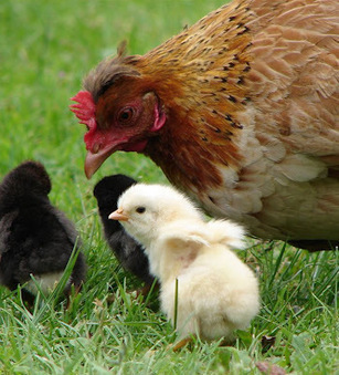"Tracing the ""great, great grandmothers"" of the chicken world 