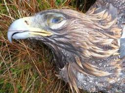 Environment Minister dismisses calls for more action against raptor ... | Sustainability At It's Finest | Scoop.it