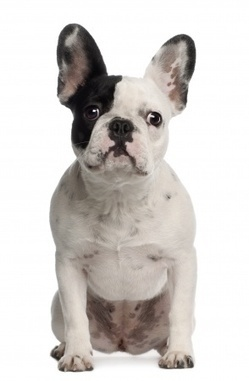 Burgess Pet Care » Blog Archive » Things you should know before adopting a French Bulldog | Dogs | Scoop.it