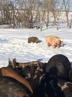 Researchers master art of tackling wild boars to collar invasive species ... - CBC.ca | Wild Pigs (Feral Hogs) | Scoop.it