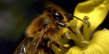 La mortalité élevée des abeilles due à des facteurs multiples | ALTERAPI | Scoop.it