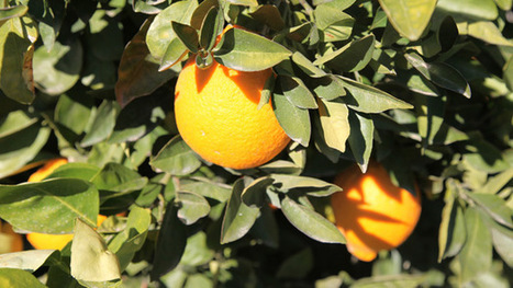 Citrus-Killing Bacteria Not Affecting Arizona's Industry | Arizona Public Media | CALS in the News | Scoop.it