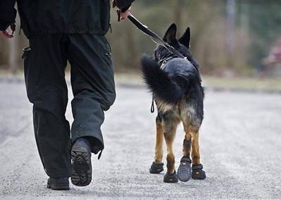 Des chaussures pour le chien policier - ouest-france.fr | CaniCatNews-actualité | Scoop.it