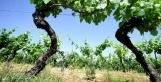 Une vielle parcelle de vignes classée aux Monuments historiques | Veille Oenologie Institut Jules Guyot Raphëlle Tourdot | Scoop.it