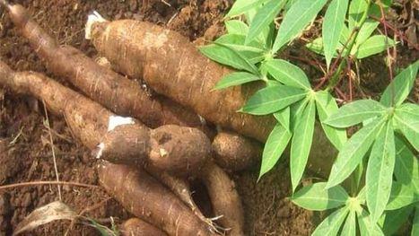 Sénégal : campagne record en vue dans la filière manioc | Questions de développement ... | Scoop.it