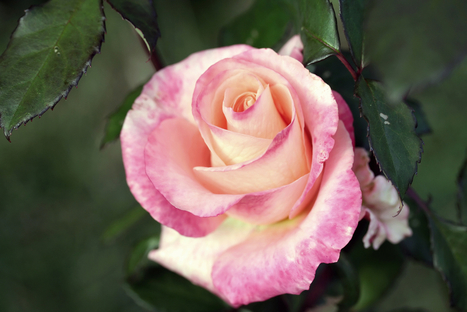 The Secret to Making Sweeter-Smelling Roses | Plant Genetics, NGS and Bioinformatics | Scoop.it