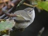 Finders keepers: Cape May Warbler at Baltasound | Birding Britain & Ireland | Scoop.it