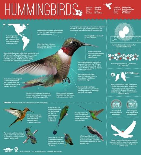 Infographics: Hummingbirds | Infographics for better understanding | Scoop.it