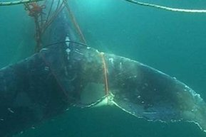 #Increasing numbers of #humpbacks getting #tangledup ~ #ABCNews   Rescue our Ocean's & it's species from Man's Pollution!   Scoop.it