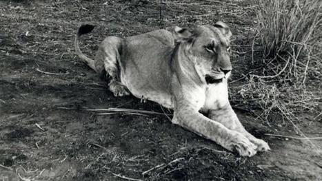 A lioness named Elsa inspired an epic fight against poachers | The Glory of the Garden | Scoop.it