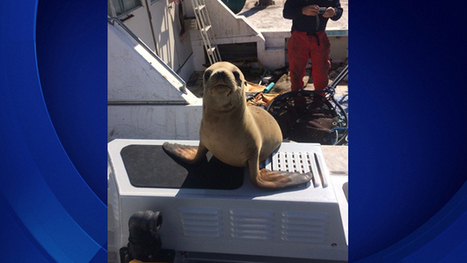 Sun-Loving Seal Pup Decides To Hitch Ride With LA County Sheriff's Deputy ... - CBS Local | My CE Project | Scoop.it