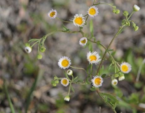 Waging the War on Weeds   UANews   CALS in the News   Scoop.it