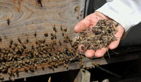 Il faut sauver les abeilles - LaDépêche.fr | Abeilles, intoxications et informations | Scoop.it