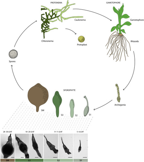 A Transcriptome Atlas of Physcomitrella patens Provides Insights into the Evolution and Development of Land Plants: Molecular Plant | plant cell genetics | Scoop.it