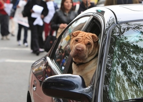 New Jersey drivers can be fined for unseatbelted pets | Food for Pets | Scoop.it