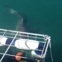 Un requin coince sa tête dans une cage de plongée   vahine64   Scoop.it