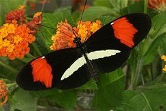 Promiscuous butterflies speed up evolution and biodiversity by interbreeding between species | Amazing Science | Scoop.it