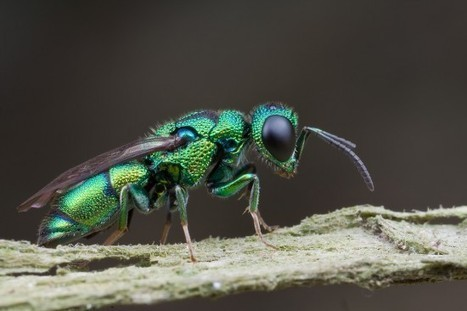 Insect Body Snatchers – How the Jewel Wasp Turns Cockroaches into Zombies | Strange days indeed... | Scoop.it