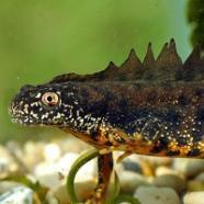 Poor ponds blamed for newt decline | AJC's Frogroom | Scoop.it