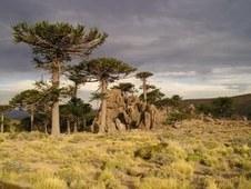 El cambio climático amenaza los bosques de araucaria — Portal de la UEX - Bienvenido a la Universidad de Extremadura | Agua | Scoop.it