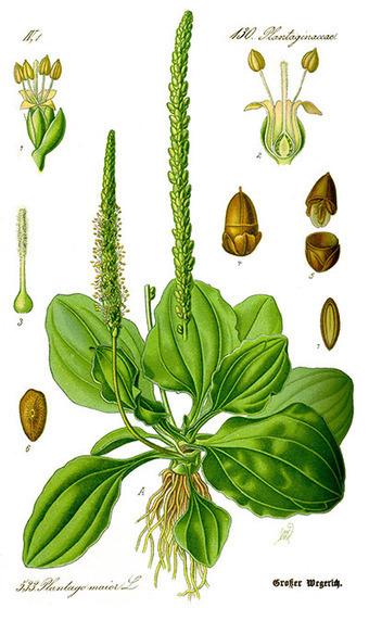 Herbs of Utnapisjtim: Plantago Major, page 1 - Above Top Secret | prehistoric plants | Scoop.it