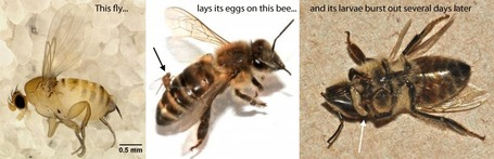 Parasitic fly spotted on honeybees, causes workers to abandon colonies | Complex Insight  - Understanding our world | Scoop.it