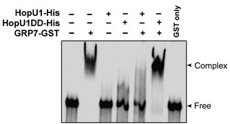 02/13/13--21:36: embo journal: pseudomonas hopu1 modulates plant