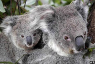 LSTNG - Calls to protect Australia's koalas | Vitamin B | Scoop.it