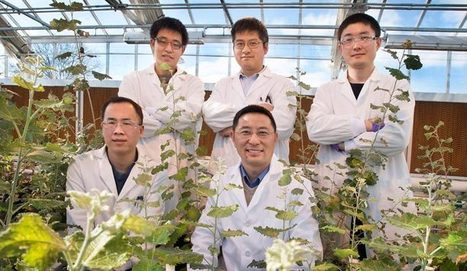 Roots to Shoots: Hormone transport in plants deciphered - Regulating hormone distribution mechanisms in plants could lead to sustainable bioenergy crops with increased growth and reduced needs for ... | Plant Breeding and Genetics | Scoop.it