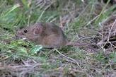 House Mouse Management Guidelines--UC IPM | Pest & Rodent Control | Scoop.it