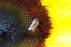 New labels for pesticides linked to bee deaths - ABC Rural (Australian Broadcasting Corporation)   News articles for Harvest on Radio Adelaide   Scoop.it