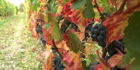 Climat : quels cépages pour quel vin de Bordeaux dans cinquante ... - Le Monde | Bordeaux | Scoop.it