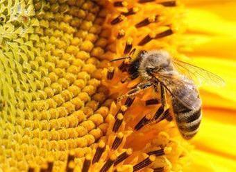 Mortandad de abejas afecta producción de miel - rionegro.com.ar | Varroosis | Scoop.it