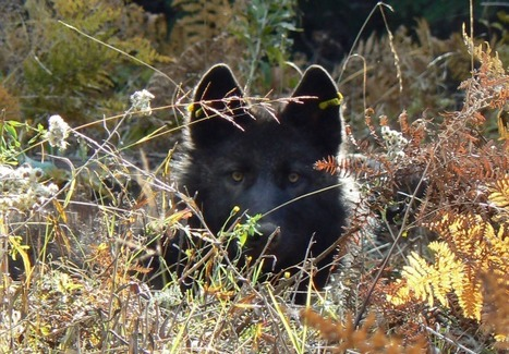 Wolves Are Returning to Oregon–but Not All Locals Want Them   Oceans and Wildlife   Scoop.it