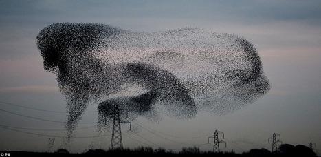 Des milliers d'étourneaux dans le ciel écossais projettent des formes surprenantes | Theo Bcn | Scoop.it