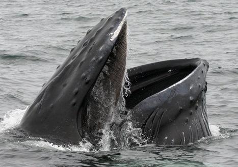 En vidéo : une baleine bleue fait des pirouettes pour manger !   Pirouette   Scoop.it