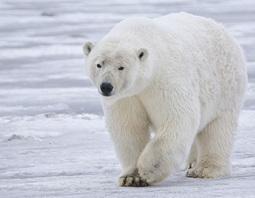 La Cites condamne l'ours polaire à de sombre jours - Espèces menacées   Ecologie et environnement   Scoop.it