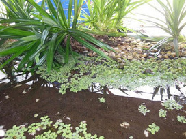Lessons learned from the Aloha house Aquaponics System in the Philipines | Aquaponics | Scoop.it