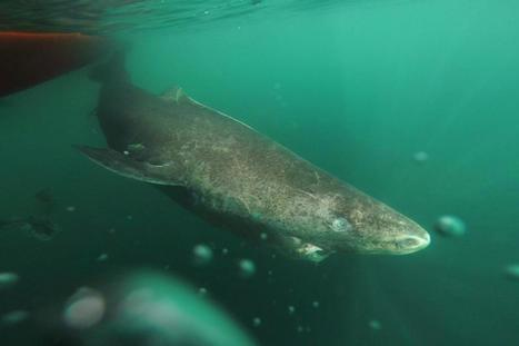 Greenland sharks live for hundreds of years   Gaia Diary   Scoop.it