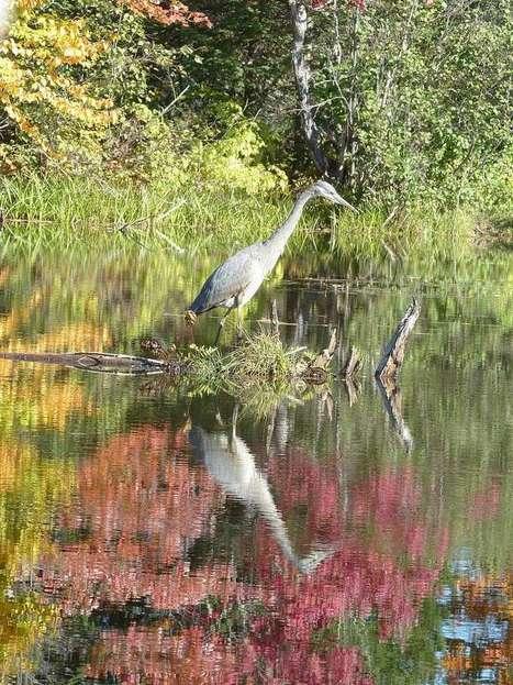 Photos d'Oiseaux : Grand héron - Ardea herodias - Great Blue Heron | Fauna Free Pics - Public Domain - Photos gratuites d'animaux | Scoop.it