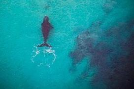 WA helicopter crew save birthing whale from shark - WA today   Australian Tourism Export Council   Scoop.it