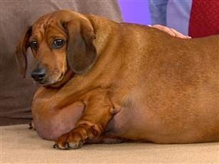 Morbidly obese dachshund at the center of custody battle | Gen's Rea: Crime & Punishment | Scoop.it