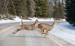Montana Readies Online Permit System to Salvage Road-Killed Big-Game ... - Food Safety News | Animal Abuse | Scoop.it