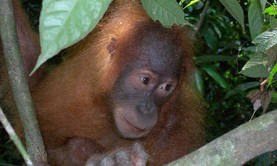 Orangutans rescued as haven takes shape in the wilds of Sumatra | Totalmente Natura | Scoop.it