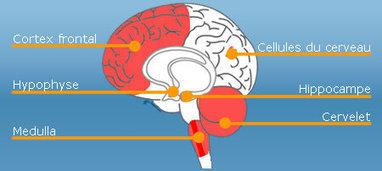 Alcool et cerveau | ISN PROJET | Scoop.it