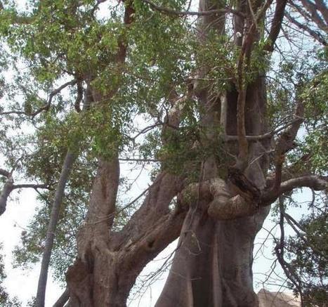 SudOnLine - Le Portail de Sud Quotidien SENEGAL   UNANIMITE DES APPELS CONTRE LA DEFORESTATION   La parole de l'arbre   Scoop.it