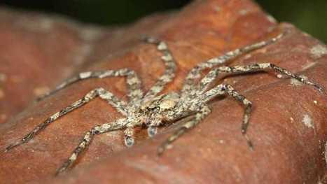 Científicos descubren una araña planeadora - RTVE.es | Bichos en Clase | Scoop.it