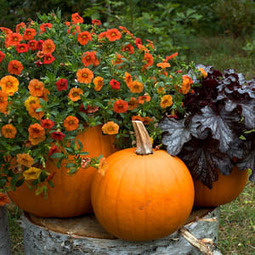 Growing Pumpkins in Containers | Annie Haven | Haven Brand | Scoop.it