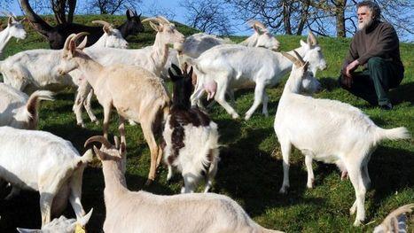 La pénurie de fromages de chèvre se confirme | Les Fromages | Scoop.it