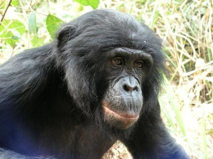 Study finds the forgotten ape threatened by human activity and forest loss | Sustain Our Earth | Scoop.it